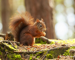 Red squirrel eating (John Lindsey Photography) Tags: wild life wildlife free nature squirrel squirrels red reds eat eating food feed feeding formby point