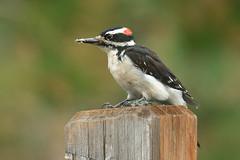Hairy Woodpecker (6757) (Bob Walker (NM)) Tags: bird woodpecker perching male fencepost hairywoodpecker picoidesvillosus hawo losalamos newmexico usa