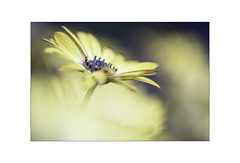 Summer sunshine. (muddlemaker1967) Tags: osteospermum summer 2018 yellow daisy bokeh garden fujifilm xt1 nikkor 50mm f12 ais lens extensiontube fotodiox adapter