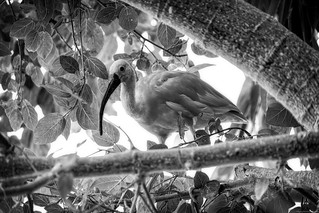 Flamingo in black and white