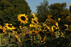 Savill Garden 2 September 2018 006 (paul_appleyard) Tags: savill garden windsor great park september 2018 flower flowers colours colourful sunflower sunflowers yellow