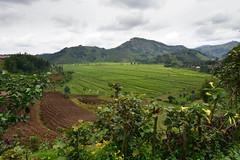 Tea plantations in Rwanda (supersky77) Tags: rwanda tea plantation hills africa green verde