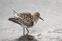 Sanderling (Turk Images) Tags: calidrisalba reedlake bird sand sanderling saskatchewan scolopacidae shorebirds migration prairies spring