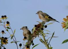 Harvest (evakatharina12) Tags: goldfinch cardueliscarduelis bird animals sunflower harvest fall autumn garden outdoor