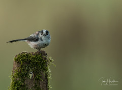 Long Tailed Tit (Ian howells wildlife photography) Tags: ianhowells ianhowellswildlifephotography nature naturephotography canon canonuk longtailedtit wildlife wildlifephotography wales wild wildbird