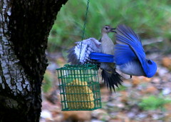 Bonnie Parker Peckerwood (austexican718) Tags: texas native fauna centraltexas hillcountry wildlife backyard bird flight fight fright birdfeeder blue woodpecker competition
