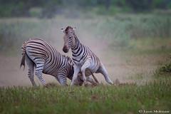 Fighting Zebra Stallions (leendert3) Tags: leonmolenaar southafrica krugernationalpark wildlife nature mammals burchellszebra ngc coth5