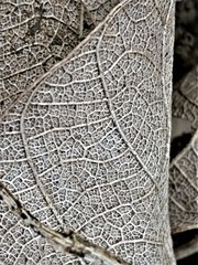 Ups and downs (rufaro) Tags: leaf veins dry ridges nature