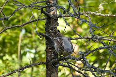 20180906__DSC8793 (miroru) Tags: grouse d7200 tamron150600g2