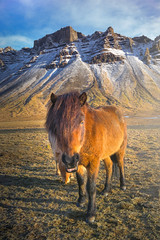 My Friend (Maddog Murph) Tags: icelandic horse iceland mountain farm animal rural country farming animals horses rider gait chewing majestic beast