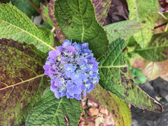 Purple Hydrangea flower (Hydrangea macrophylla) (phuong.sg@gmail.com) Tags: abstract asia asian background beautiful beauty blossom blurred botanic bush color dalat ecology environment flora floral flowers focus fragile freshness green growth herb hortensia hydrangea japan macro macrophylla natural nature nobody outdoor pink plant purple season shrubs soft softness spring summer vietnam wildflower