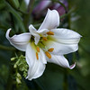 Lily Glory (MrBlueSky*) Tags: lily flower plant petal nature garden horticulture outdoor colour kewgardens royalbotanicgardens london pentax pentaxart pentaxlife pentaxawards pentaxflickraward pentaxk1mkii aficionados