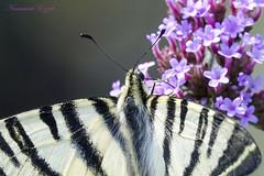 Flambé ou Iphiclides podalirius (Ezzo33) Tags: france gironde nouvelleaquitaine bordeaux ezzo33 nammour ezzat sony rx10m3 parc jardin papillon papillons butterfly butterflies specanimal flambé iphiclides podalirius