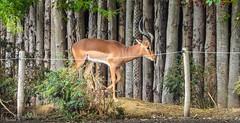 Impala - 5875 (ΨᗩSᗰIᘉᗴ HᗴᘉS +23 000 000 thx) Tags: hff fence animal impala pairidaiza nature hensyasmine namur belgium europa aaa namuroise look photo friends be wow yasminehens interest intersting eu fr greatphotographers lanamuroise