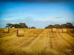 Hay Bales (domwlive) Tags: autumn hay fields haybales countydurham rural northeastengland september countryside hartlepool england unitedkingdom gb