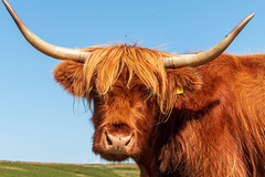 Portrait of a Highlander (Keith in Exeter) Tags: highland cow animal livestock hairy portrait dartmoor nationalpark devon grass sky flies pests