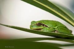 Rainette méridionale (vyclem78) Tags: rainette grenouille batracien proxi macro yvetteclemenson