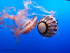 Jellyfish in Monterey Aquarium (rebecca bowater nature photographer) Tags: jellyfish aquarium