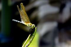 IMG_6194 (mohandep) Tags: hessarghatta lakes karnataka butterflies birding nature wildlife insects signs food