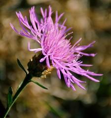 Live Life in full Bloom (barbara_donders) Tags: natuur nature indiansummer nazomer flower bloem purple paars bokeh macro mooi prachtig beautiful beauty magical