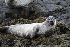 This Is My Best Side - IMG_7428 (406highlander) Tags: commonseal seal phocavitulina dunvegan skye scotland lochdunvegan marine mammal animal sigma120400mmf4556apodgos harbourseal harborseal basking rock canoneos1300d
