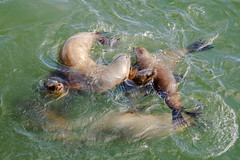 5816  A family at Play (foxxyg2) Tags: sealions california santacruz maritime mammals ocean pacificocean