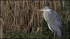 _SG_2018_02_0002_IMG_3415 (_SG_) Tags: graureiher fischreiher reiher vogel vögel bird birds grey heron greyheron