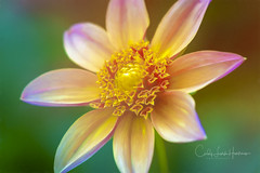 Rainbow of Color (crziebird) Tags: flora flowers flower garden longwood gardens pennsylvania pa