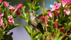 Hummingbird doing what a hummingbird does best... (RStonejr) Tags: wildlife wings animalplanet animal nectar colors sunlight rossstone ross unofficial flickr california feathers floraandfauna fauna flora outside day rs2pics 2018 spring2018 naturephotography nature natur canon80d canon flight flying pink green flower flowers pretty bird hummingbird