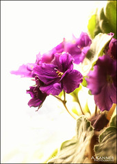 African Violet... (angelakanner) Tags: canon70d 50mmlens purple african violets closeup highkey indoorplant