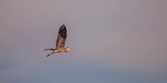 2018-09-09--Etang de Bischwald0187.jpg (heijoelle) Tags: france animalier matin moselle bistroff oiseaux héroncendré greyheron europe animaux lorraine