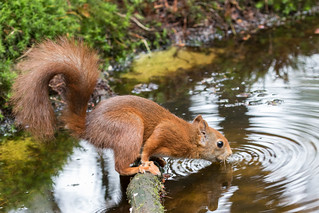 Eurasian Red Squirrel drinking (Sciurus vulgaris) Rode eekhoorn
