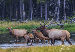 Male Elk and his family (TylerSchlittPhotography) Tags: photography canon art travel love landscape nationalparks sd mt wy co mo flickr september sky nature exploring discover amazing