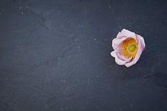 emerging (quietpurplehaze07) Tags: miniinminimalism smileonsaturday japaneseanemone bud slate pink