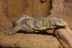 Monitor 1 20180916 (Steve TB) Tags: canon eos5dmarkiii winghamwildlifepark wildlife monitor reptile