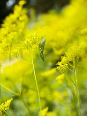 * (t*tomorrow) Tags: panasonic lumix gx8 nokton nokton25mmf095 flower 虫 カマキリ