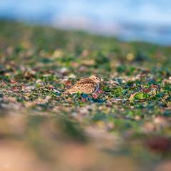 Least Sandpiper (When Photographed) Tags: leastsandpiper sandpiper beach migratory wildlife shorebird shoreline grass sea
