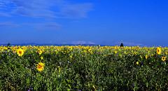 Prairie fleurie (Diegojack) Tags: vaud suisse echandens d500 nikon nikonpassion paysages panorama champs prairie tournesols fleurs groupenuagesetciel