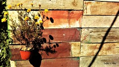IMG_20180916_110159 (Željko V. Mitić) Tags: september outdoors nature naturephotography village countryside sunny sunnyday morning flower flowers flowerpot wall color colorful planks boards rustic