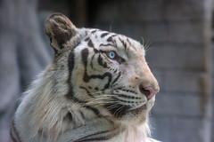 Sky ♂ - A Blue Eyed Prince (Belteshazzar (AKA Harimau Kayu)) Tags: sky tiger zoo animal bigcat bigcats feline bengaltiger pantheratigristigris königstiger indischertiger eltigredebengala tigredubengale latigrerealedelbengala бенгальскийтигр 孟加拉虎 whitetiger weisertiger tigreblanco tigreblancroyal белыйтигр 孟加拉白虎 zooshot tobu tobuzoo snowwhite sunbathing canada playful playfulcat playfultiger playfulwhitetiger bengal sex blueeyes curiosity nightzoo whenyouwishuponastar