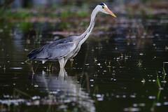 gray heron at lake naivasha (Man of Honour) Tags: gray heron lake naivasha kenya
