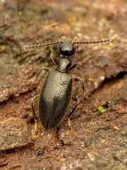 Ant-like Flower Beetle (treegrow) Tags: newzealand moana lakebrunner nature lifeonearth raynoxdcr250 arthropoda insect beetle coleoptera anthicidae