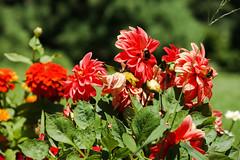 Working (Jose Rahona) Tags: flores flowers flor abejas bee bees jardin garden verde rojo hojas leaves grass