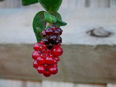 Honeysuckle Fruit (DaveC...) Tags: lumixg80 lumixvario1260mm honeysuckle fruit garden westsussex uk closeup red berries