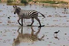 Zebra and birds, Amboseli (Steve S. Yang) Tags: tanzania kilimanjaro nationalpark amboseli africasafari zebra