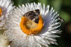 Moth & Fly (DanielaC173) Tags: flower strawflower xerochrysum xerochrysumbracteatum insect fly moth pollinator
