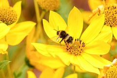 stay now (Paul Wrights Reserved) Tags: bee bess beeinflight flying flight flies inflight insects insectinflight flower flowers flowering beautiful beauty
