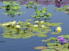 Chicago, Garfield Park, Water Lily Pond (Mary Warren 11.3+ Million Views) Tags: chicago garfieldparkconservatory nature flora plants green foliage pond water blooms blossoms flowers lilypads lilypond