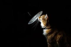 Attraction lumineuse. (LACPIXEL) Tags: atracción attraction lumineuse chat cat gato lumière luz light roux red rojizo pet mascota animaldecompagnie animal luminoso luminous nikon nikonfr flickr lacpixel merlin coon