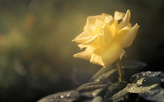 Basking in the Sun (Charles Opper) Tags: canon georgia summer bokeh color floral flower light nature raindrops rose soft warm yellow midway unitedstates